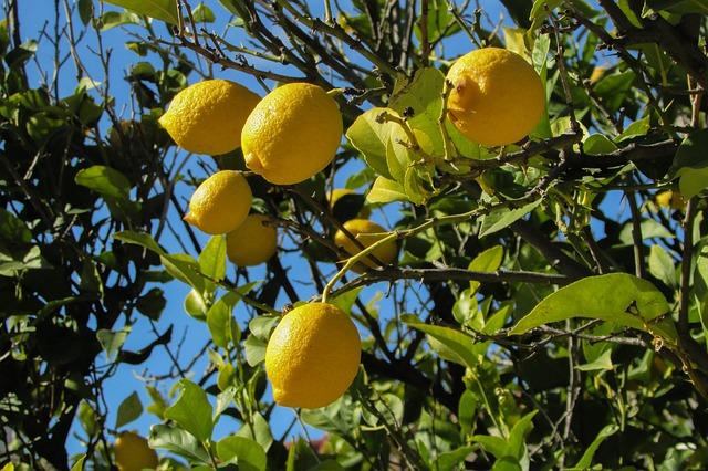 lemon-tree-1878505_640